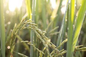 planta de arroz foto