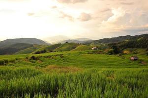 plantas de arroz foto