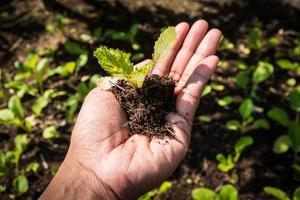 plantando horta