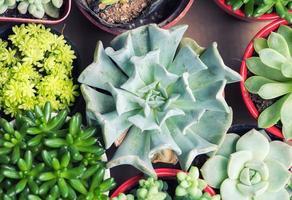 plantas suculentas em miniatura