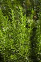 plantas de alecrim foto