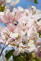 planta com flores buganvílias foto