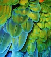 penas de arara (verde / azul) foto
