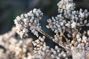 planta seca congelada foto