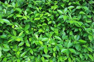 folha e planta arbustiva foto