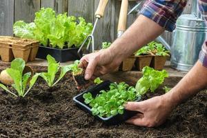 agricultor plantando mudas jovens foto