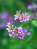 lythrum salicaria. plantar flores foto