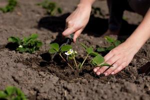 plantando morangos no jardim