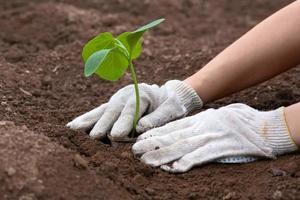mãos plantando mudas de abóbora