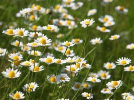 planta e flores de anthemis arvensis foto