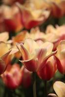 tulipas foto