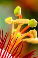 flor da paixão vermelha (passiflora miniata) foto