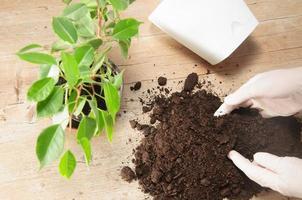 jardinagem doméstica realocando planta de casa