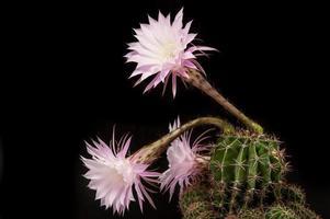 planta suculenta com flor rosa foto