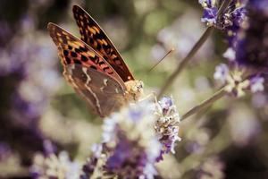 linda borboleta sentada em plantas de lavanda foto