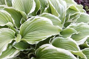 planta ornamental da família dos lírios em gotas de orvalho foto