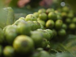 grãos de café crescendo em planta de café em estação fria foto