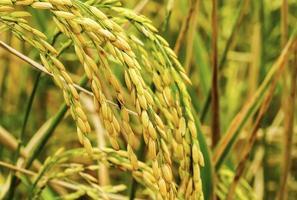 orelhas de arroz foto
