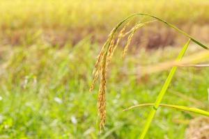 campo de arroz em casca
