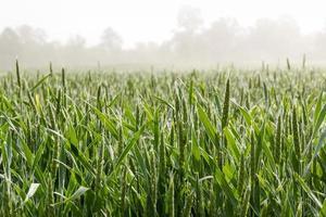 campo de trigo na manhã de nevoeiro.