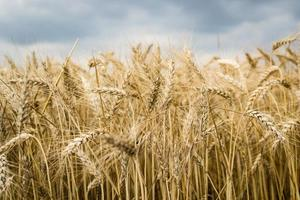 detalhe de uma orelha em um campo de trigo
