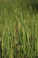 pico de arroz no arrozal foto