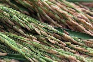 sementes de arroz