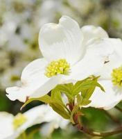 dogwood branco