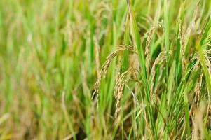 arroz. espiguetas de arroz. Tailândia foto