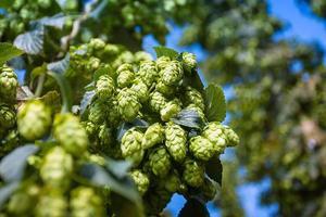 close-up de galho verde de cones de lúpulo foto