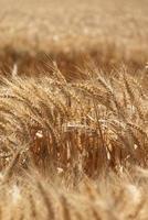 colheita de grão de trigo foto