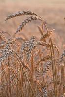 close up de um campo de trigo