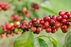grãos de café crescendo na árvore foto
