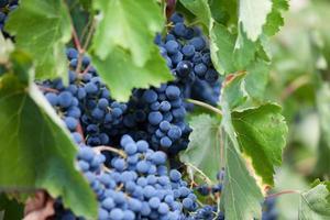 cacho de uvas maduras escuras foto