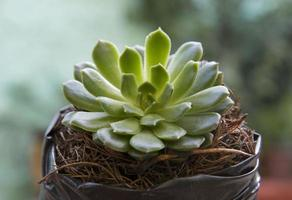 planta suculenta close-up foto