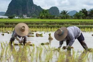 agricultor planta mudas de arroz