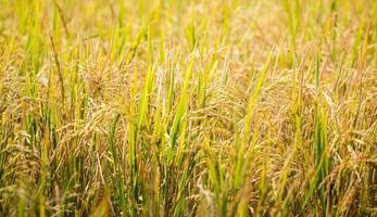 planta de arroz pronta para ser colhida foto