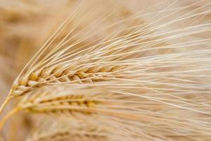 plantas de cereais, cevada, com foco diferente