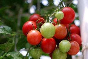 tomates vermelhos frescos na planta foto