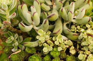 plantas sempervivum ou sedum no jardim foto