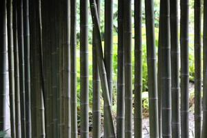 parede de bambu