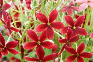 flor de trepadeira de Rangum no jardim. foto