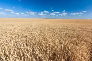 campo de arroz dourado pronto para colheita com céu azul foto