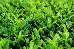 planta de chá foto