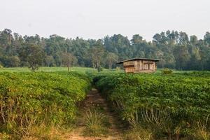 campo de mandioca e cabana