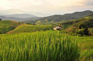 arrozais ao pôr do sol foto