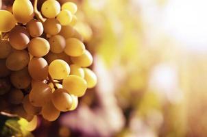 uvas brancas foto