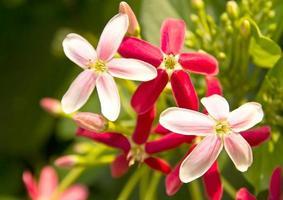 quisqualis indica, também conhecida como madressilva chinesa foto