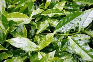 planta - plantação de chá
