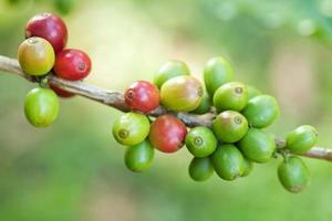 grãos de café na planta foto